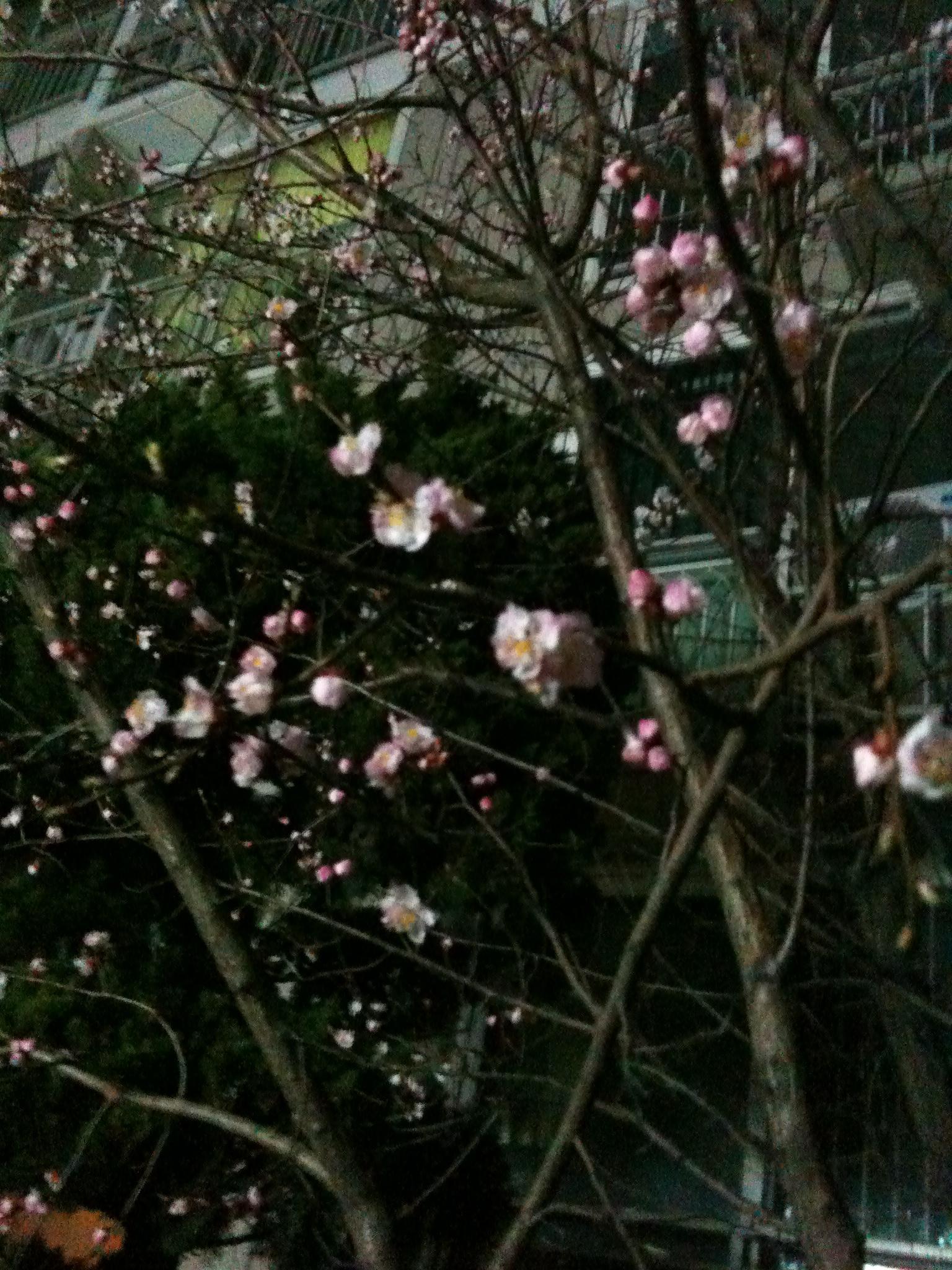 아파트 입구 벚꽃